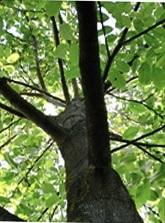 収納ベッドシングル通販 ウォールナット樹木